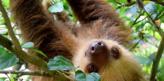 Rainforest Puerto Viejo Travel Costa Rica Sloth